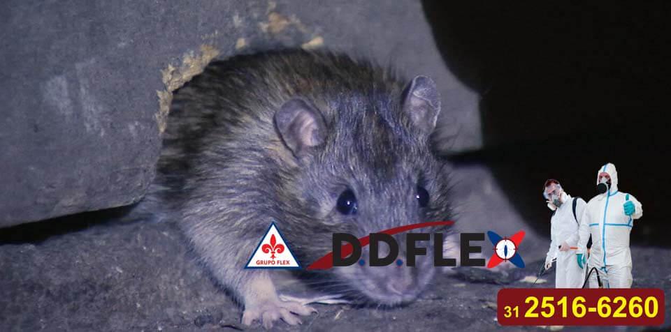 dedetizacao-de-ratos-ddflex-bh