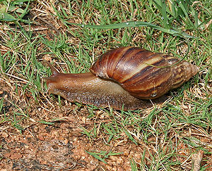 300px-Giant_African_Land_Snail_(Achatina_fulica)_in_Hyderabad,_AP_W_IMG_0596